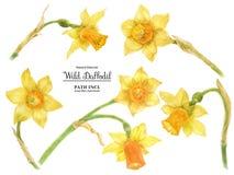 狂放的黄水仙复活节花 被借的百合 免版税库存照片