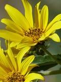狂放的黄色向日葵特写镜头  免版税库存图片