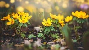 狂放的黄色毛茛花,春天 免版税库存照片