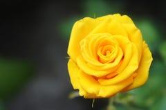 狂放的黄色玫瑰特写镜头照片 库存照片