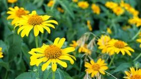 狂放的黄色花在草甸增长 r 股票视频