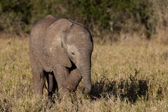 狂放的婴孩非洲大象 图库摄影