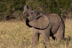 狂放的婴孩非洲大象 库存图片
