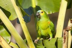 狂放的绿松石(蓝色)朝向与棕榈的亚马逊鹦鹉在额嘴 免版税库存照片