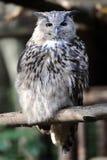 狂放的年轻猫头鹰画象 免版税图库摄影