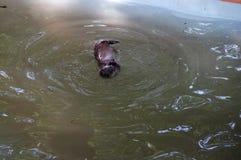 狂放的水獭 库存图片