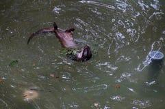 狂放的水獭 库存照片
