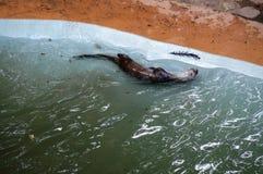 狂放的水獭 图库摄影