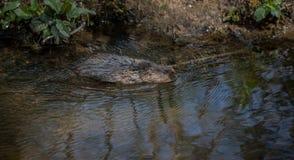 狂放的水田鼠游泳 图库摄影