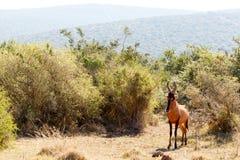 狂放的-红色Harte-beest -狷羚buselaphus的加州赤岭 库存图片