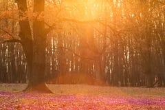 狂放的紫色番红花的领域与橡树谷的在日落 wildgrowing的春天秀丽开花开花在春天的番红花 免版税库存图片