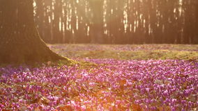 狂放的紫色番红花的领域在日落的 wildgrowing的春天秀丽开花番红花 影视素材
