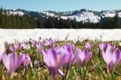 狂放的紫色番红花的领域 积雪的山在背景中 免版税库存图片