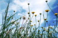 狂放的黄色花和蒲公英和蓝天和云彩视图从上面 免版税库存照片