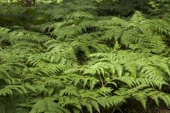 狂放的绿色蕨在森林里 库存照片