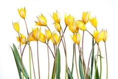 狂放的黄色郁金香花 免版税库存图片
