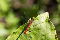 狂放的黄色黑红色蜻蜓anax imperator Sympetrum Fonscol 库存图片