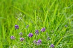 狂放的紫花苜蓿- Psoralidium tenuiflorum 库存图片