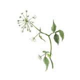 狂放的aegopodium植物的水彩例证剪影与白花的在白色背景 库存例证