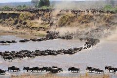 狂放的beest迁移在坦桑尼亚 库存图片