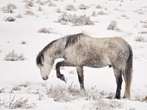 狂放的Brumby (马)在食物的澳大利亚狩猎通过雪 库存照片