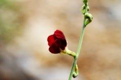 狂放的Bushbean花  库存照片