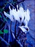 狂放的cyclame在顶面优质印刷品的花在蓝色宏观背景中和墙纸 库存照片