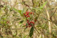 狂放的Dahoon霍莉莓果和叶子 免版税库存图片