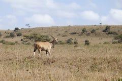 狂放的eland 免版税图库摄影