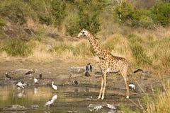 狂放的gifraffe站立在河岸的,克鲁格国家公园,南非 免版税图库摄影