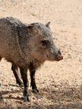 狂放的Javalina在Sonoran沙漠 免版税图库摄影