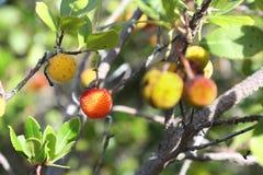狂放的medronho -在树的杨梅果子 免版税库存图片