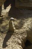 狂放的meerkats 免版税图库摄影