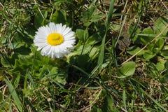 狂放的Paralute艾里斯perennis -雏菊的一个共同的欧洲种类 免版税库存照片