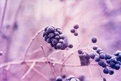 狂放的privet莓果在树冰的 免版税库存照片
