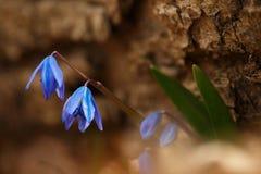 狂放的Scilla siberica 免版税图库摄影