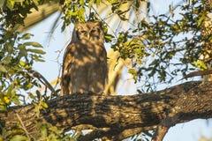 狂放的Verraux的老鹰猫头鹰在树荫下 图库摄影