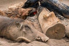 狂放的warthog保持温暖在营火旁边 斯威士兰 免版税图库摄影