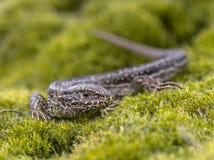 狂放砂蜥蜴休息 库存照片