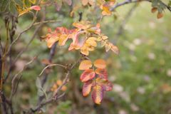 狂放红色和橙色的秋天上升了叶子背景 图库摄影