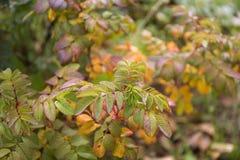 狂放红色和橙色的秋天上升了叶子迷离背景 免版税库存图片