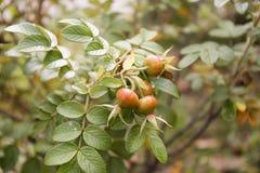 狂放红色和橙色的秋天上升了叶子迷离背景 免版税库存照片