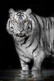 狂放老虎动物野生生物的猎人 免版税库存照片