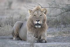 狂放自由狮子画象说谎 库存图片