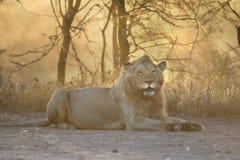 狂放自由狮子画象说谎 免版税库存图片