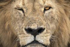 狂放自由狮子画象说谎 免版税图库摄影