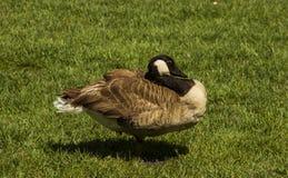 狂放草的鸭子 免版税库存照片