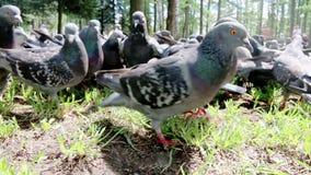 狂放饥饿的鸽子鸟仓促通过草 影视素材
