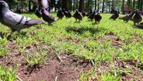 狂放饥饿的鸽子鸟仓促通过草 股票录像