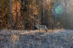 狂放黄石国家公园的土狼 免版税图库摄影